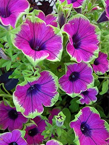 100 Seed 9 Colors Calibrachoa Organic Petunia Seed Mixed 'Garden Petunia' Very Beautiful Flower Seed-Land Miracle Black (Petunia Organic Seed)