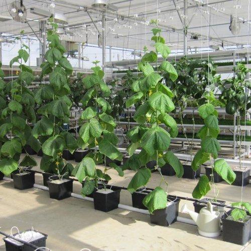 GrowBiggerPlants RollerHook Tomato Vine Crop Trellis (50 Pack) - EBook Included
