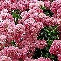 Lioder Giant Pink Sakura Cherry Tree Seeds Flower Seeds Garden Bonsai Beautiful Potting Plant Seeds Bonsai