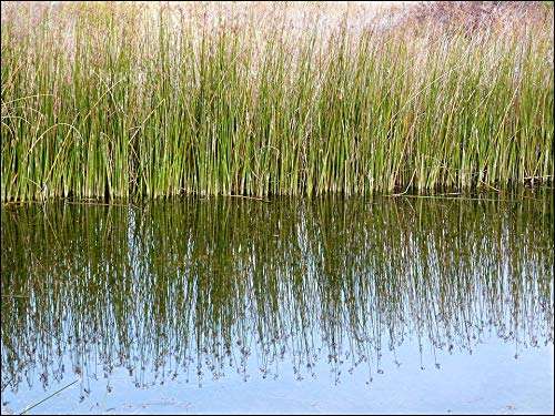 Home Comforts Canvas Print Reeds Surface Reflections Pond Reflective Still Vivid Imagery Stretched Canvas 10 x 14