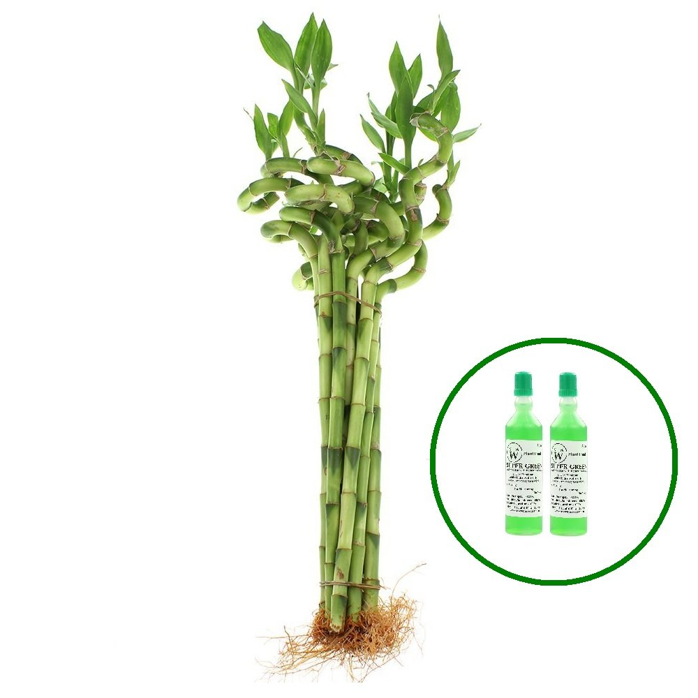 NW Wholesaler - 24'' Spiral Lucky Bamboo Bundle of 10 Stalks with 2 Free Bottle of Super Green Bamboo Fertilizer