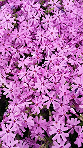 Pink Creeping Phlox (1 Order Contains 2 Potted Plants)