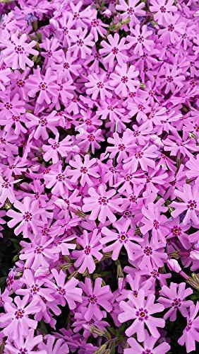 Plant Phlox Creeping - Pink Creeping Phlox (1 Order Contains 2 Potted Plants)