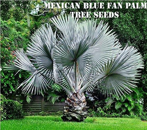 10 Mexican Blue Fan Palm Tree Seeds