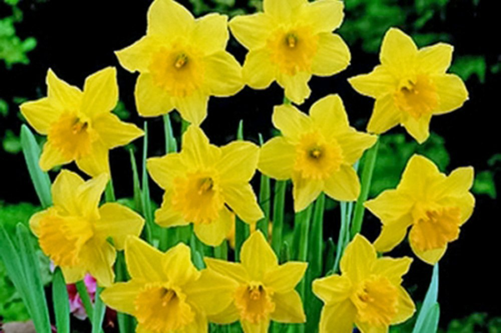 Carlton Daffodil , Bulb (10 Bulb) Daffodil , Stunning Blooms with Deep Golden Yellow Petals by Country Creek Acres