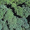 Borecole / Kale - Winterbor - 75 Seeds