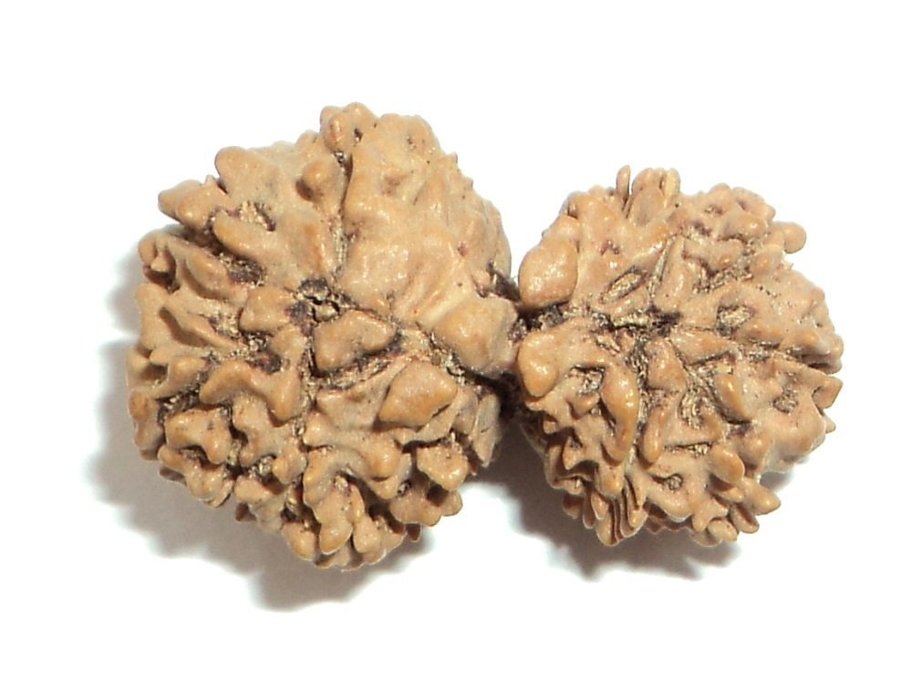 Buycrafty Gauri Shankar Rudraksha / Gouri Shankar Rudraksh / Shiv Shakti Rudraksha, Feng Shui Diwali For Health Wealth And Luck by Buycrafty