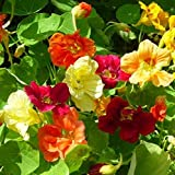 Garden Nasturtium Makhrovaya Mix - 20 Seeds - Organically Grown - NON-GMO