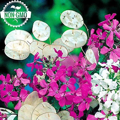 Gaea's Blessing Seeds - Honesty Seeds 100+ Non-GMO Seeds, Annual Honesty, Moonwort, Money Plant, Silver Dollar Plant, Lunaria Annua (Silver Dollar Lunaria)