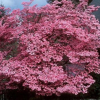 pink flowering dogwood cornus florida rubra bulk 100 seeds flowering plants. Black Bedroom Furniture Sets. Home Design Ideas