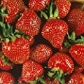 Quinalt Everbearing Strawberry 10 Bare Root Plants - Huge Fruit Size
