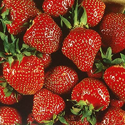 Quinalt Everbearing Strawberry 25 Bare Root Plants - Huge Fruit Size