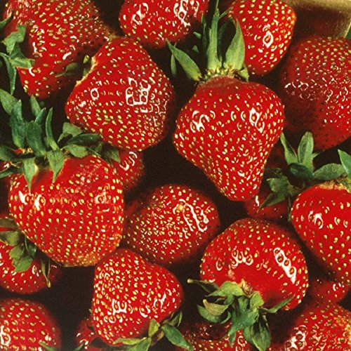 Quinalt Everbearing Strawberry 25 Bare Root Plants – Huge Fruit Size