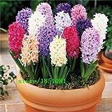Hyacinth seeds, Hyacinthus Orientalis, it is not hyacinth bulbs - 50 seeds/bag Seeds