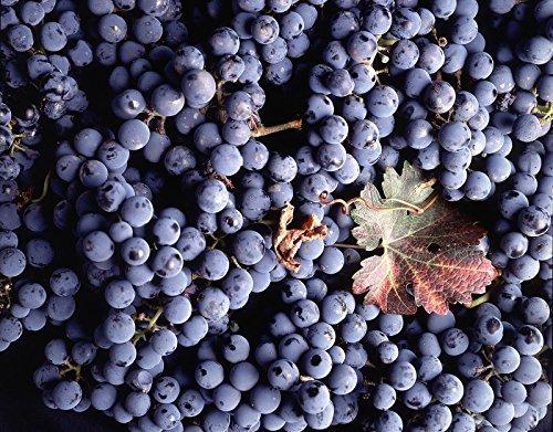- Vitis vinifera Cabernet Sauvignon WINE GRAPE Seeds!