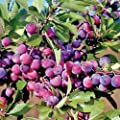 Homegrown Plum Seeds, 7, Dunbars Plum Tree