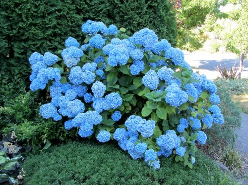 Nikko Blue Hydrangea 2 1//2 Potted Shrub 6-12 Tall Healthy Plant 3 Pack By Growers Solution