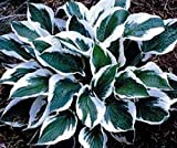 (3) Medio Variegated Hosta Roots, Beautiful Green & White Foilage, Roots, Plants, Flower, Seeds,Bulbs,Plants,&More
