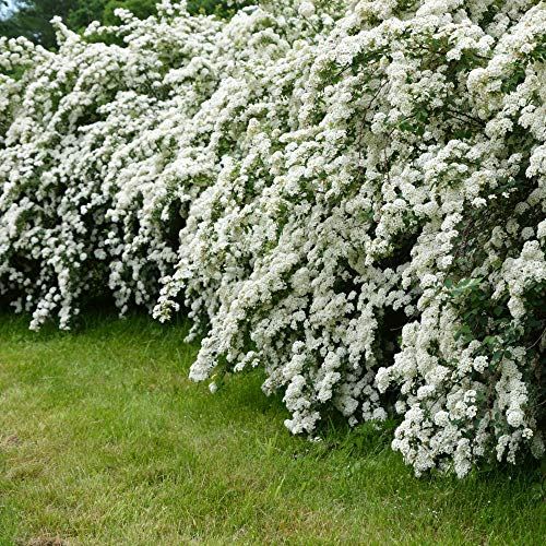 Cottage Hill Spirea 'Reeves' - 1 Piece Live Plant White Blooms