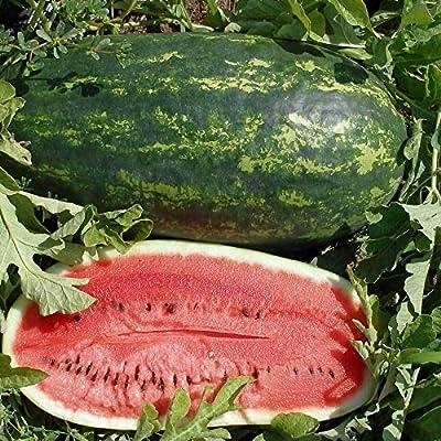 Watermelon Seed: 25+ Seeds Klecky Sweet Watermelon - Fresh Seed : Garden & Outdoor