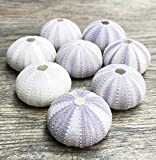 Sea Urchin | 8 Purple Sea Urchin Shell |8 Purple Sea Urchin Shells for Craft and Decor | Nautical Crush Trading TM