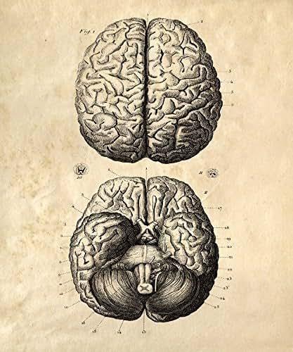 "Amazon.com: 16"" x 20"" Vintage Anatomy Human Brains ..."