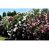 pianta piante di oleandro in vaso 22 altezza pianta 100/130 siepe siepi arredo giardino
