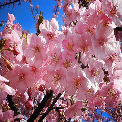 - JAPANESE CHERRY BLOSSOM FRAGRANCE OIL - 2 OZ - FOR CANDLE & SOAP MAKING BY VIRGINIA CANDLE SUPPLY - FREE S&H IN USA