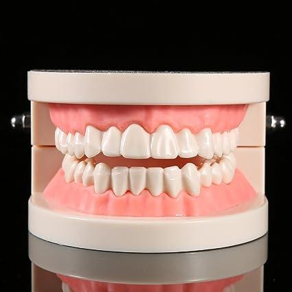 Modelo dental de la enseñanza de los dientes del adulto del dentista del modelo del cuidado dental del PVC 1pcs
