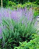 Cut Leaf Russian Sage Plant - Perovskia atriplicifolia 'Filigran' - Quart Pot