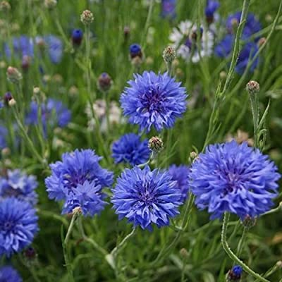 David's Garden Seeds Flower Cornflower Bachelor Button Early Victory SL0219 (Blue) 100 Non-GMO, Heirloom Seeds : Garden & Outdoor