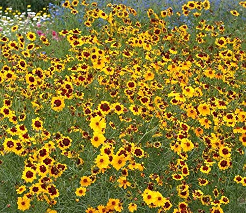 Plains Coreopsis Tickseed Florida State Wildflower bin265 (24,000 Seeds)