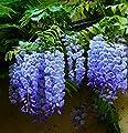 Bicolor Purple Wisteria Seeds 40 Seeds Upc 650327337114