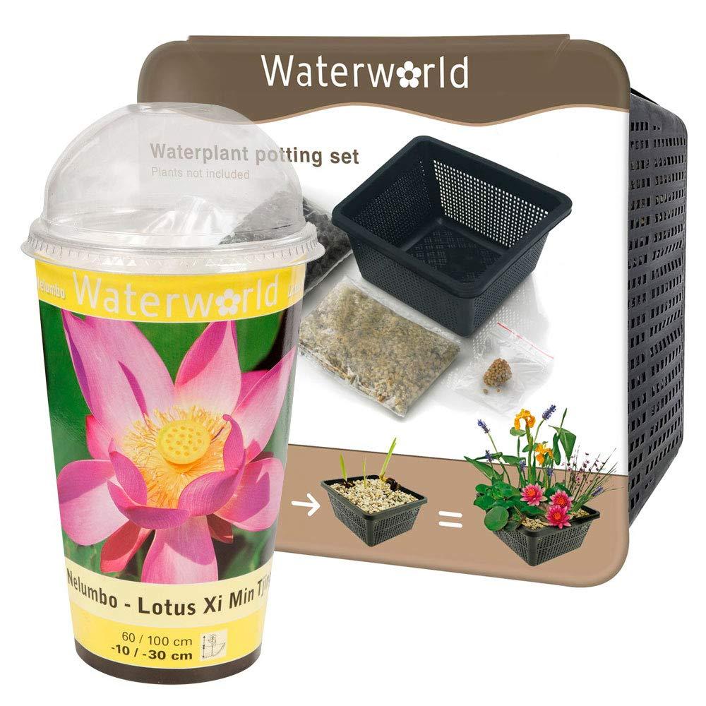 BOTANICLY   Pianta da giardino – Waterworld Nelumbo Lotus - Kit di coltura + set di aqua (basket stagno, ghiaia, terriccio e fertilizzante per le piante)   Altezza  20 cm