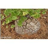 Dioscorea elephantipes - Schildkrötenpflanze – 5 Samen
