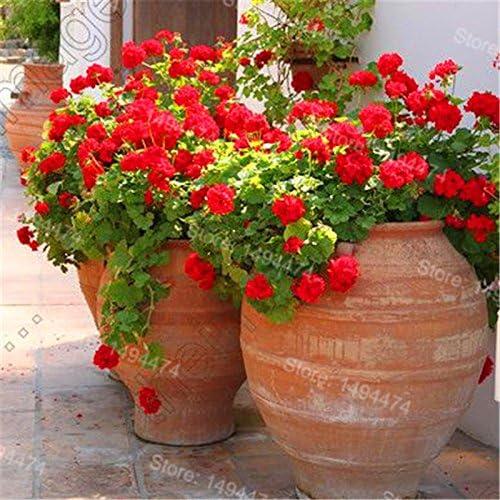 200pcs / Sac rares Géraniums Graines couleurs mélangées Bonsai Graines de fleurs Appleblossom Rosebud Pelargonium vivace Graines de fleurs