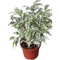 Planta de interior - Planta para la casa o la oficina - Ficus benjamina Variegata - 28 cm de alto - AHORA CON DESCUENTO
