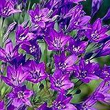 5 Triteleia Queen Fabiola Bulb Blue Flower Color Perennial Summer Bloom