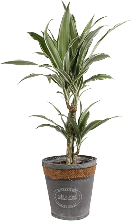 Planta de interior de Botanicly – Árbol dragón en maceta gris de ...