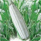100 Seeds Sticky & Sweet Corn Plant Garden Vegetable-Sweet White 25 F1 Hybrid