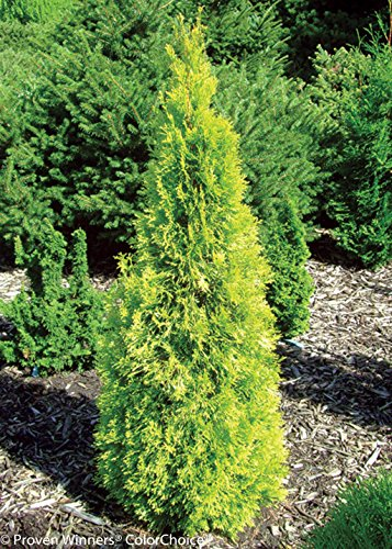 Polar Gold Arborvitae - Thuja - Evergreen - Proven Winners - 4