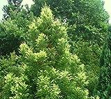 Sekkan Sugi ( Golden Curls ) Cryptomeria - Live Plant - Trade Gallon Pot