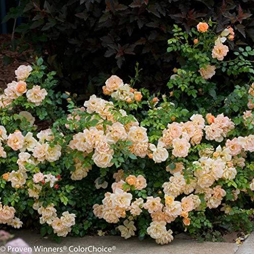 OSO Easy Peachy Cream Rose - Disease Resistant - Proven Winners - 4