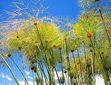 100 semillas Cyperus papiro de papel Reed juncia de la planta de floración acuática exótica