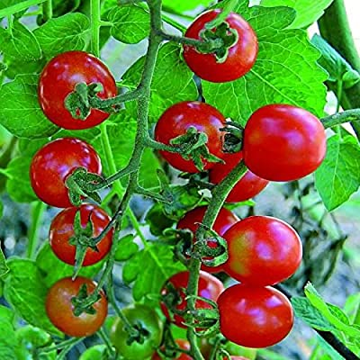 David's Garden Seeds Tomato Cherry Mexico Midget AX4533 (Red) 25 Non-GMO, Heirloom Seeds : Garden & Outdoor