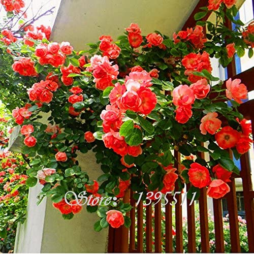 100 PCS perfume arco iris plantas trepadoras semillas de flores, berro de roca de flores de colores, semillas de flores para el jardín de: Amazon.es: Jardín