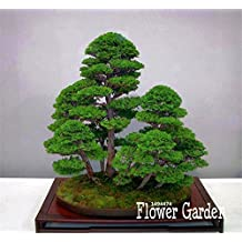 Best-Selling10 Pieces/Pack juniper bonsai tree potted flowers office bonsai purify the air absorb harmful gases,#Q9VSED