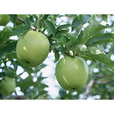 SD0503 Sour Apple Fruit Seeds, Green Apple Seeds, Green Apple Tree Seeds, Non-Genetically Modified Seeds (25 Seeds) : Garden & Outdoor