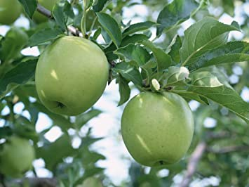 green apple fruit tree. sd0503 sour apple fruit seeds, green tree non amazon.com