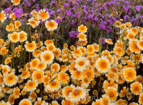 Tidy Tips Seed, Heirloom Flower Seed, Daisy Seed, Non-Gmo Annual Wildflower 75ct